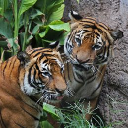 Adopt a tiger...or two!