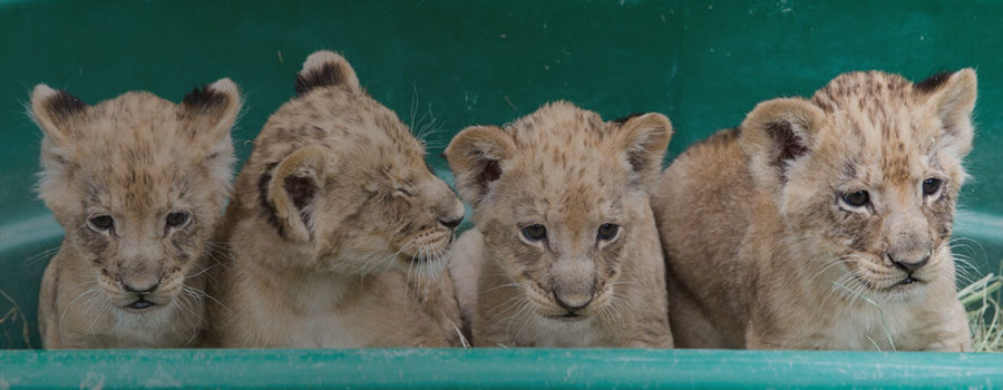lion cub2_home_slideshow