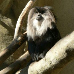 macaque-indie
