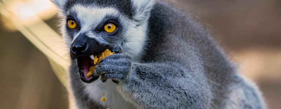 lemur0085cz