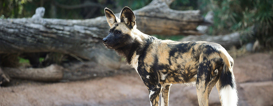African Wild Dogs banner small
